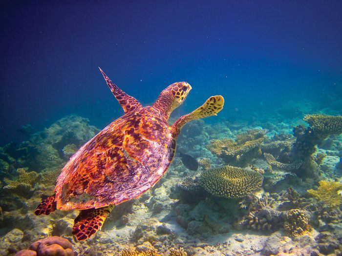 Sea Turtle Colombia Wild Expeditions Silversea